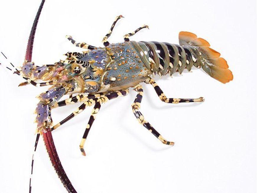 Fish Market. Spiny (Rock) Lobster